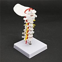 7'' Cervical Vertebra Arteria Spine Spinal Nerves Anatomical Model Life Size