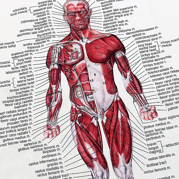 Muscular System Poster 66x51cm Anatomical Chart Human Body Anatomy Educational