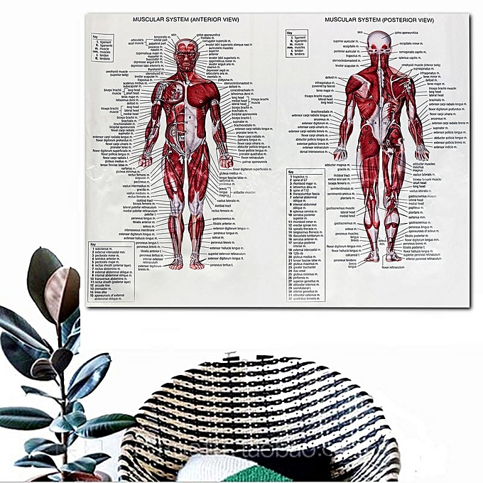 Buy Generic Muscular System Poster 66x51cm Anatomical Chart Human