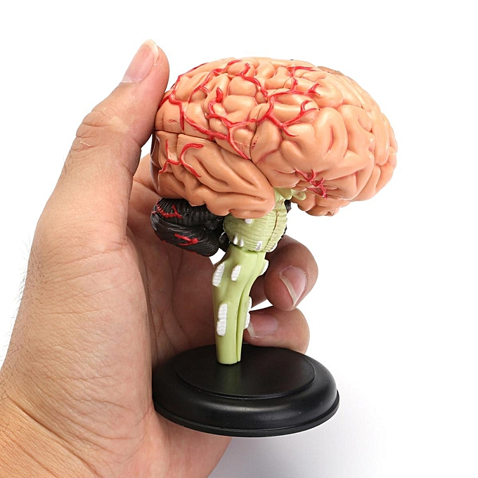 Buy Generic Brain Model Learning Resources Human Anatomy Medical