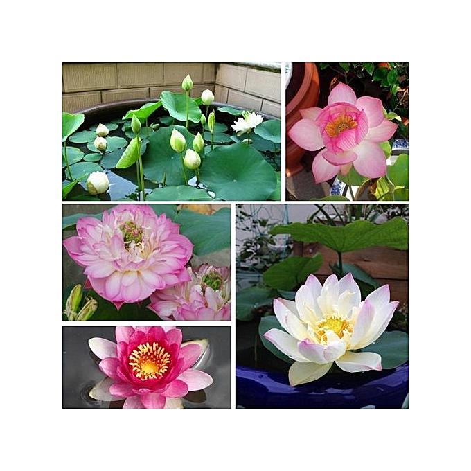 Generic 5 Pack Plants Lotus Seeds Lotus Bowl Lotus Flower Water