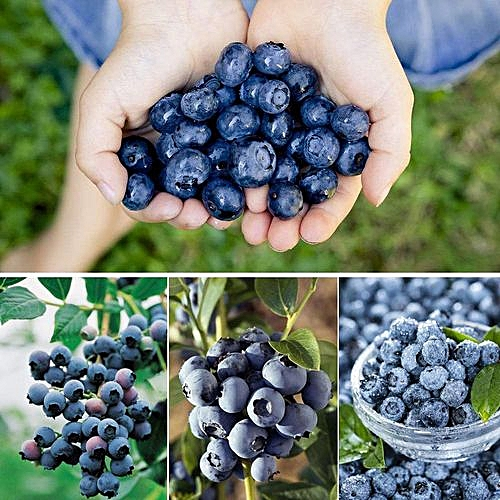 30Pcs Blueberry Tree Seed Garden Edible Fruit Seed Potted Bonsai Plant