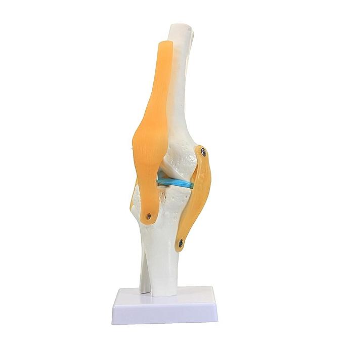 Generic Knee Joint Anatomical Model Human Skeleton Anatomy Study