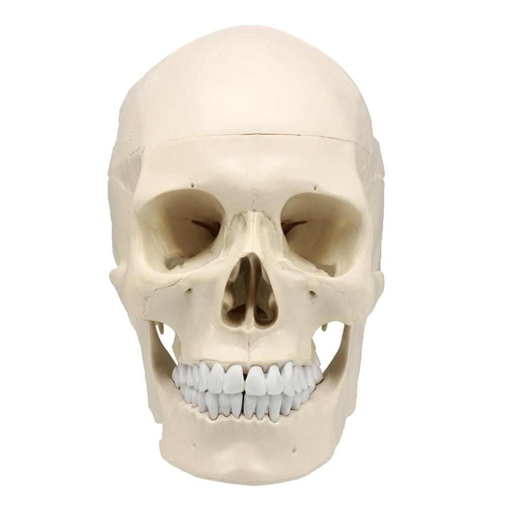 Buy Generic Life Size Human Anatomical Anatomy Resin Head Skeleton