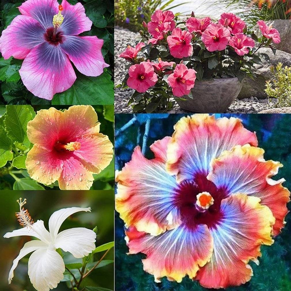 Buy generic hibiscus flowers seeds office indoor ornamental flower 1 due to the difference between different monitors the picture may not reflect the actual color of the item we guarantee the style is the same as shown izmirmasajfo