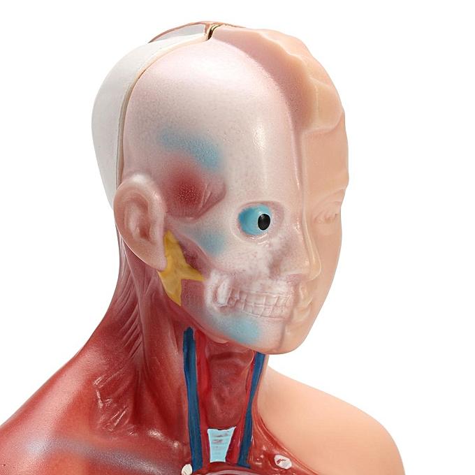 Buy Generic 28cm Unisex Human Torso Anatomy Model Viscera Heart
