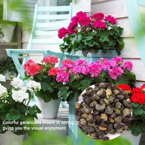 Jumia Kenya & 5 * 100pcs/bag Mix Color Geranium Seeds Bonsai Potted Flower Plant Garden Yard Balcony Decor